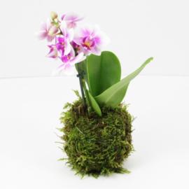 Kokedama Vlinder Orchidee