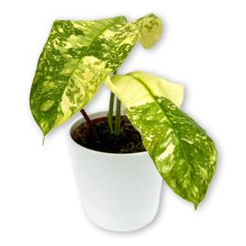 Philodendron Jose Buono 2-3 leaf