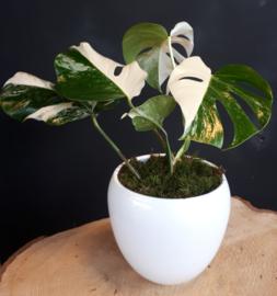 Monstera Variegata 17cm Pot Blind Pick