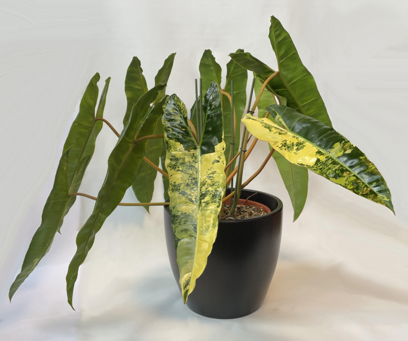 Philodendron Bilietiae Variegata