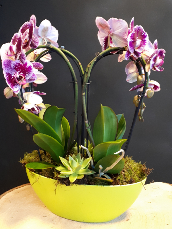 Vlinder Orchidee In Boot
