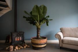 Alles over de Bananenplant - Musa