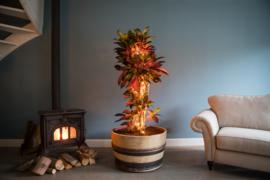 Bonte Beauty, Miss Croton Iceton in authentiek wijnvat