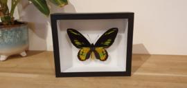 Schitterende vlinder Ornithoptera Rothschildi