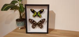 Zéér exclusieve en uniek set vlinders Ornithopteraa Victoriae