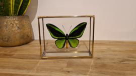 Vlinder Ornithoptera Priamus