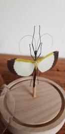 Super mooie en bijzondere wandelende tak Tagesoidea Nigrofasciata