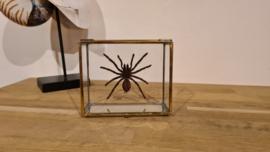Super gave Tarantula spin- Eurypelma Spinicrus