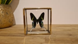 Schitterende vlinder Urania Leilus