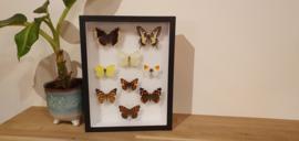 """Schitterende set vlinder """"the Dutchies"""""""