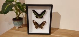 Schitterende set vlinders Trogonoptera Brookiana