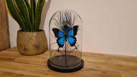 """Set vlinder """"Peacock & Ulysses"""""""