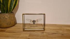 "Super gave en bijzondere cicade Ayuthia Spectabilis ""White Ghost"""