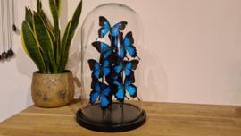 "Set vlinders ""Giant Papilio blue"""