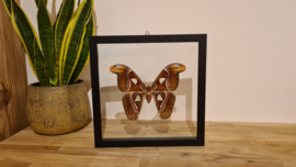 "Schitterende vlinder/ mot Attacus Atlas ""Big Female"""