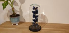 Schitterende set blauwe Asterope vlinders