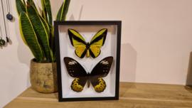 Schitterende en exclusieve set vlinders Ornithoptera Goliath Samson