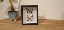 """Schitterende set vlinders """"the King&Queen"""""""