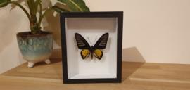 Schitterende vlinder Troides Rhadamantus- male