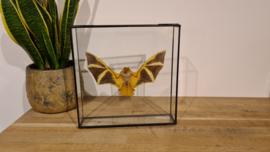 Super gave vleermuis Kerivoula Picta