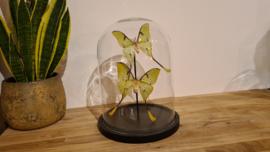 "Schitterende set vlinders ""African Moon Moths"""