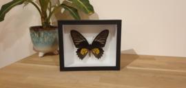 Schitterende vlinder Troides Rhadamantus- female