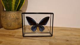 Vlinder Ornithoptera Praimus Urvillianus ssp