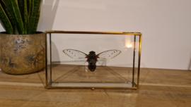 Super gave mega cicade Pomponia Intermedia