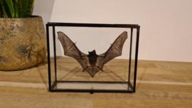 Super gave vleermuis Miniopterus Medius