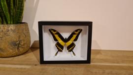 Schitterende vlinder Papilio Thoas