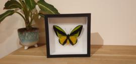 Schitterende vlinder Ornithoptera Goliath Samson