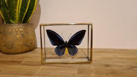 Vlinder Ornitoptera Priamus Urvillianus