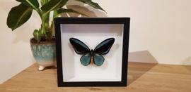 Zéér exclusieve vlinder Ornithoptera Aesacus