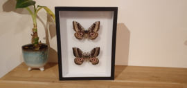 Schitterende set vlinders/ motten Gynanisa Maja