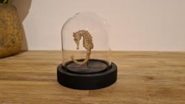 Schitterend antiek Zeepaardje Hippocampus ssp.
