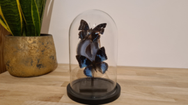 """Schitterende set Fantasy """"Agate & Charaxes blue duo"""""""