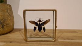 Schitterende kever Chrysochroa Buqueti