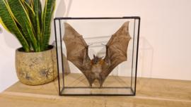 Super gave vleermuis Cynopterus Brachyotis