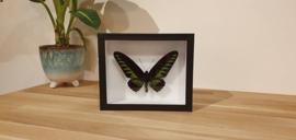 Schitterende vlinder Trogonoptera Brookiana