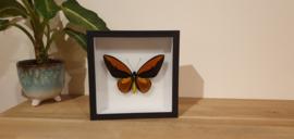 Schitterende vlinder Ornithoptera Croesus Lydius