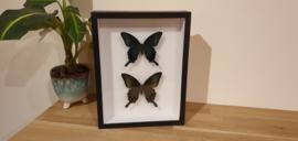 Schitterende vlinder Papilio Dehaani