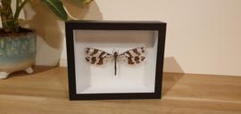 """Schitterende """"libelle""""/mierenleeuw Palpares Libelluloides ssp."""