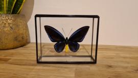 Vlinder Ornithoptera Priamus Urvillianus
