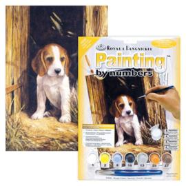 Junior - Beagle puppy