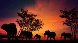 Olifanten in het avondrood