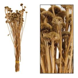 Single boeket Wild daisy 50-60cm Natural