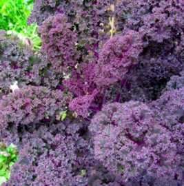 Boerenkool 'Roter Grünkohl'