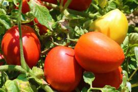 Tomaat (Pomedori)