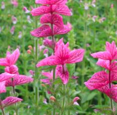 Bonte salie roze