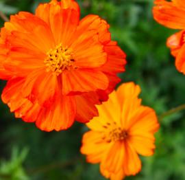 Cosmea oranje